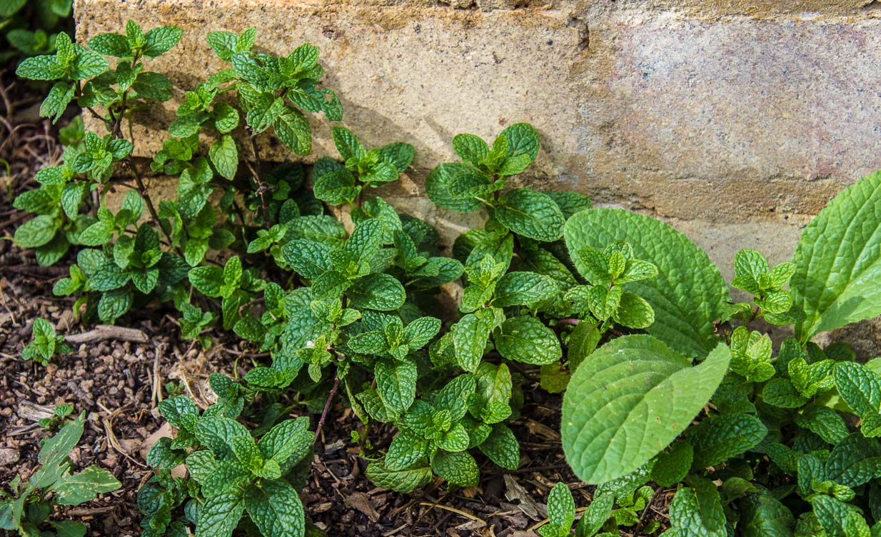 Mint & Borage share a path