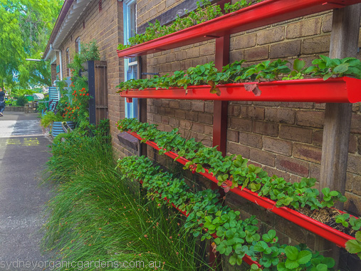 Strawberries growing happily in a recycled rain gutter vertical garden